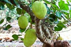 Frutas de Jack Imagens de Stock Royalty Free