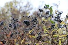 Frutas de la alheña Fotos de archivo libres de regalías