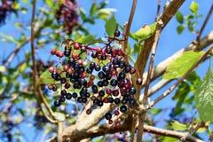 Frutas de la baya del saúco Fotografía de archivo