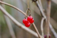 Frutas de la bola de nieve Foto de archivo libre de regalías