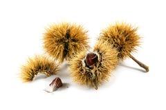 Frutas de la castaña dulce y x28; Sativa& x29 del Castanea; en la cáscara espinosa, clo Fotos de archivo