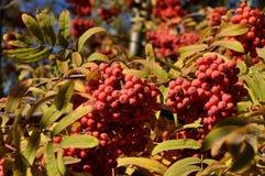 Frutas de la ceniza de montaña Imágenes de archivo libres de regalías