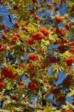 Frutas de la ceniza de montaña Fotos de archivo