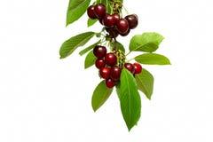 Frutas de la cereza con las hojas Fotografía de archivo libre de regalías
