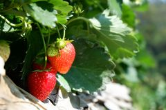 Frutas de la fresa en el jardín Imagenes de archivo