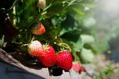 Frutas de la fresa en el jardín Foto de archivo libre de regalías