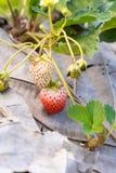 Frutas de la fresa en la ramificación Foto de archivo