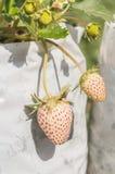 Frutas de la fresa en la ramificación Imagenes de archivo