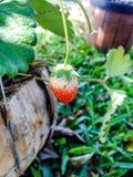 Frutas de la fresa en la ramificación Fotografía de archivo