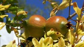 Frutas de la granada en el árbol de la rama almacen de metraje de vídeo