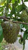 frutas de la guanábana, una de las frutas más dulces foto de archivo libre de regalías