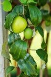 Frutas de la manzana del mono imagen de archivo