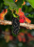 Frutas de la mora en árbol Fotografía de archivo libre de regalías