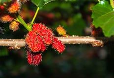 Frutas de la mora en árbol Foto de archivo libre de regalías