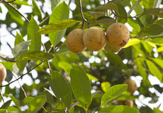 Frutas de la nuez moscada moscada Imágenes de archivo libres de regalías