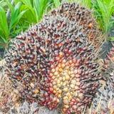 Frutas de la palma de aceite Fotografía de archivo libre de regalías