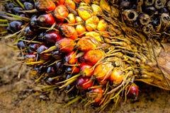 Frutas de la palma de aceite Imagen de archivo