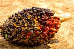 Frutas de la palma de aceite Foto de archivo libre de regalías