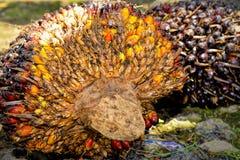 Frutas de la palma de aceite Fotos de archivo