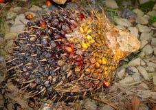 Frutas de la palma de aceite Imágenes de archivo libres de regalías