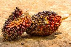 Frutas de la palma de aceite Imagenes de archivo