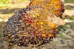 Frutas de la palma de aceite Fotos de archivo libres de regalías