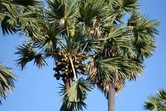 Frutas de la palma de azúcar Fotos de archivo libres de regalías