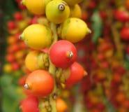 Frutas de la palma de la Navidad Fotografía de archivo libre de regalías