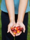 Frutas de la palma de petróleo Fotos de archivo libres de regalías