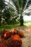 Frutas de la palma de petróleo en la plantación Fotos de archivo libres de regalías