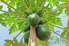 Frutas de la papaya Imagenes de archivo