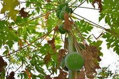 Frutas de la papaya del árbol de papaya en jardín en papaya verde fresca de la naturaleza de Bengala Occidental en árbol con l foto de archivo libre de regalías