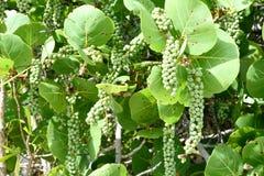 Frutas de la uva del mar Imagen de archivo