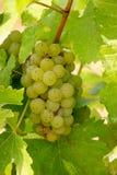 Frutas de la uva en el campo Fotografía de archivo