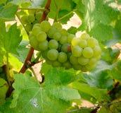 Frutas de la uva en el campo Fotos de archivo