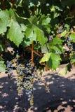 Frutas de la uva en un lagar chileno fotos de archivo