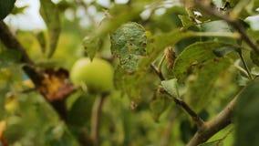 Frutas de la uva y de la manzana en árboles después de la lluvia, cosecha del otoño, vitaminas naturales almacen de metraje de vídeo