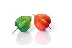 Frutas de Lampion no crescimento e em estágios maduros fotografia de stock royalty free