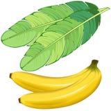 Frutas de los plátanos y ejemplo del vector de la hoja del plátano aislado en blanco libre illustration