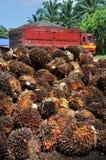 Frutas de petróleo da palma Imagens de Stock