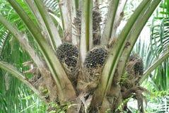 Frutas de petróleo da palma Foto de Stock