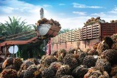 Frutas de petróleo da palma Fotos de Stock Royalty Free