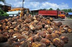 Frutas de petróleo de palma imágenes de archivo libres de regalías
