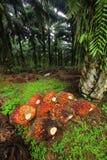 Frutas de petróleo de palma en la plantación Foto de archivo