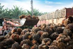 Frutas de petróleo de palma que cargan por teletratamiento fotografía de archivo