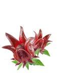 Frutas de Roselle Imagen de archivo libre de regalías