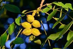 Frutas de una nuez (juglans regia) Fotos de archivo