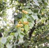 Frutas de una pera salvaje Imagen de archivo