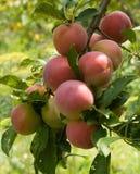 Frutas del árbol de ciruelo Fotos de archivo libres de regalías