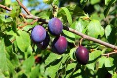 Frutas del árbol de ciruelo imagenes de archivo